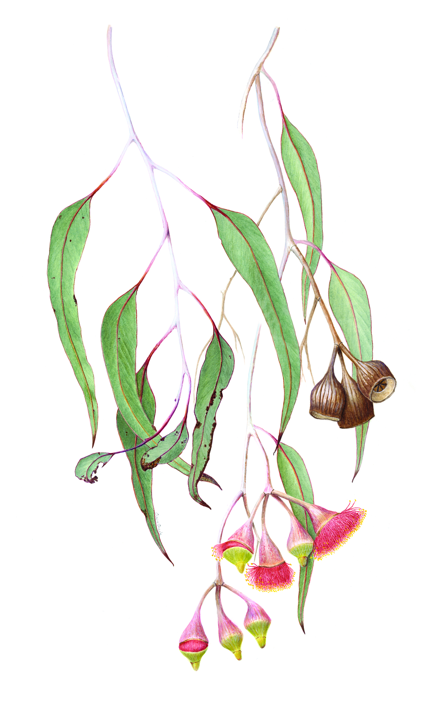Watercolour of Eucalyptus caesia